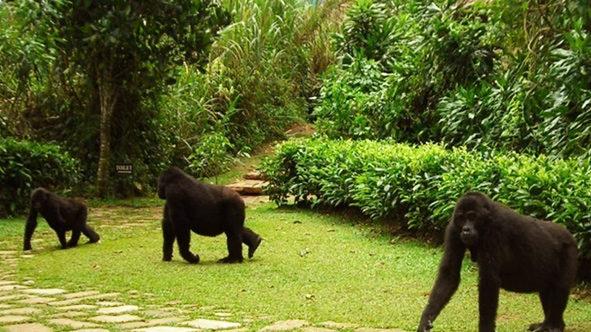 Gorilla in Camp Uganda